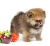 Pomeranian no fundo branco, cachorrinho, isolado Imagens de Stock Royalty Free