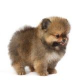 Pomeranian no fundo branco, cachorrinho, isolado Imagem de Stock