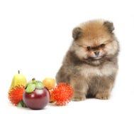 Pomeranian no fundo branco, cachorrinho, isolado Fotos de Stock