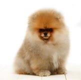 Pomeranian no fundo branco, cachorrinho, isolado Foto de Stock Royalty Free