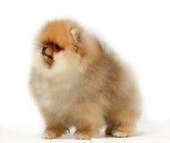 Pomeranian no fundo branco, cachorrinho, isolado Imagem de Stock Royalty Free