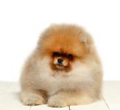 Pomeranian no fundo branco, cachorrinho, isolado Fotos de Stock Royalty Free