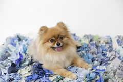Pomeranian no tapete azul fotografia de stock royalty free