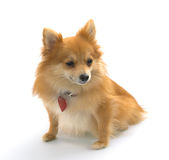 Pomeranian o perro de Pomerania alemán fotos de archivo libres de regalías