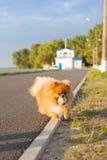 Pomeranian op de weg Stock Afbeelding