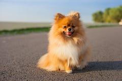 Pomeranian op de weg Stock Afbeeldingen