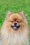 Pomeranian op groen gras Stock Afbeelding