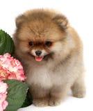 Pomeranian op witte achtergrond, geïsoleerd puppy, royalty-vrije stock fotografie