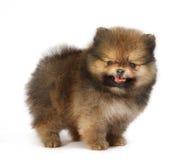 Pomeranian op witte geïsoleerde achtergrond, stock afbeelding