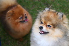 Pomeranian Pair Stock Photo