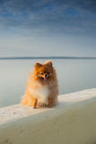 Pomeranian on the parapet Royalty Free Stock Photography
