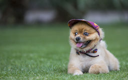 Pomeranian in a park Stock Image