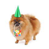 Pomeranian Party Hat and Present Stock Photos
