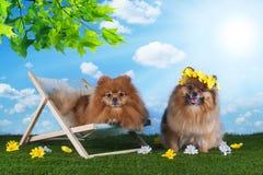 Pomeranian pelucheux détendant dans une chaise de plate-forme sur la pelouse Images libres de droits