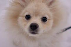 Pomeranian, perrito que presenta para la cámara Imágenes de archivo libres de regalías