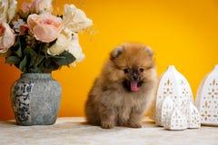 Pomeranian, perritos, abucheo foto de archivo