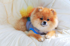 Pomeranian Pflegenhundeabnutzungskleidung auf Bett Lizenzfreies Stockfoto