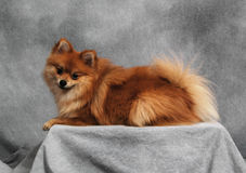 Pomeranian on a platform. A Pomeranian sits still on a raised platform in the studio for a full-body shot stock images