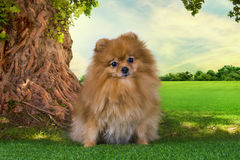 Pomeranian playing in a meadow under a tree Stock Photo