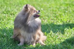 Pomeranian Pomeranian Sable Cream Screws in the Sun with His Lip. Spitz is a decorative breed of dogs. Spitz breeds of dogs, characterized by sharp ears stock image
