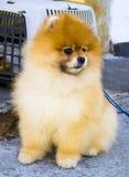 pomeranian pomeranian spitz för hund husdjur Royaltyfri Foto