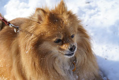 Pomeranian portrait Royalty Free Stock Photography
