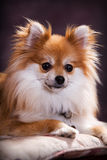 Pomeranian Portrait Royalty Free Stock Photo