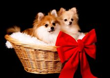 Pomeranian Present Royalty Free Stock Images