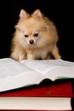 Pomeranian Prodigy Imagen de archivo