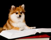 Pomeranian Prodigy. Fluffy Pomeranian puppy reading a thick book royalty free stock images