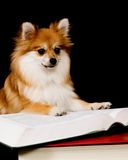 Pomeranian Prodigy Stock Photos