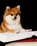 Pomeranian Prodigy stockfotos