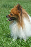 Pomeranian Profile. A female Pomeranian in the grass, in profile Royalty Free Stock Photos