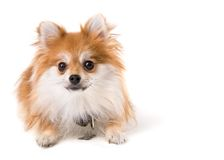 Pomeranian Pup Royalty Free Stock Photo