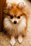 Pomeranian Pup at Home royalty free stock images