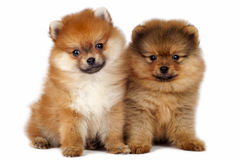 Pomeranian puppies Stock Photography