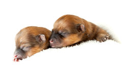 Pomeranian puppies, couple of days old Royalty Free Stock Image