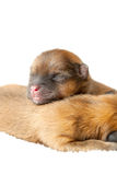 Pomeranian puppies, couple of days old Royalty Free Stock Photo