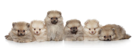 Pomeranian Puppies group Royalty Free Stock Image