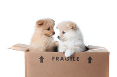 Pomeranian Puppies Inside a Cardboard Box Royalty Free Stock Images