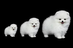 Pomeranian puppies Royalty Free Stock Photography