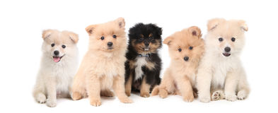 Pomeranian Puppies LIned up on White Background Royalty Free Stock Photography