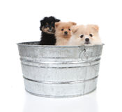 Pomeranian Puppies in an Old Washtub Royalty Free Stock Photos