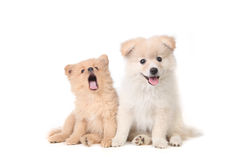 Pomeranian puppies sitting obediently Stock Photo