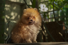 Pomeranian puppies sitting on wood table looking to camera Stock Photography