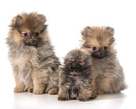 Pomeranian puppies Stock Image