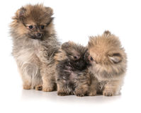 Pomeranian puppies Royalty Free Stock Photos