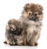 Pomeranian puppies Royalty Free Stock Photo