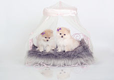 Pomeranian puppies Royalty Free Stock Photo