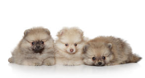 Pomeranian Puppies on white background Stock Photography